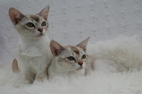 Burmese and Asian kittens from our family cats | Karesama